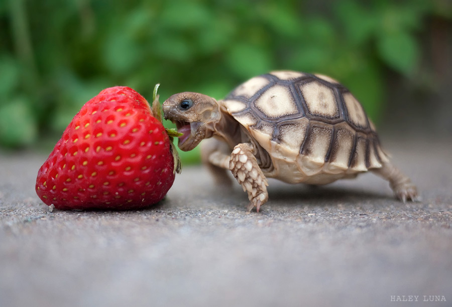 Large strawberry on left, sitting on sidewalk, with smaller tortoise named Kevin with mouth open in attempt to take a bite of the strawberry.